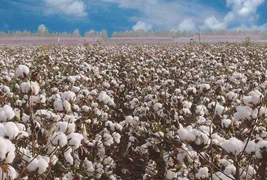 澳大利亚又向中国提要求了 这次是棉花图片