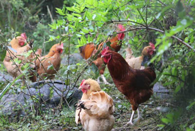 遵义扶贫农产品进入直播间 展现林下山间生长环境