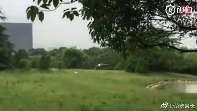 杭州动物园发生的真实一幕,一只丹顶鹤飞行中受伤掉进老虎窝……