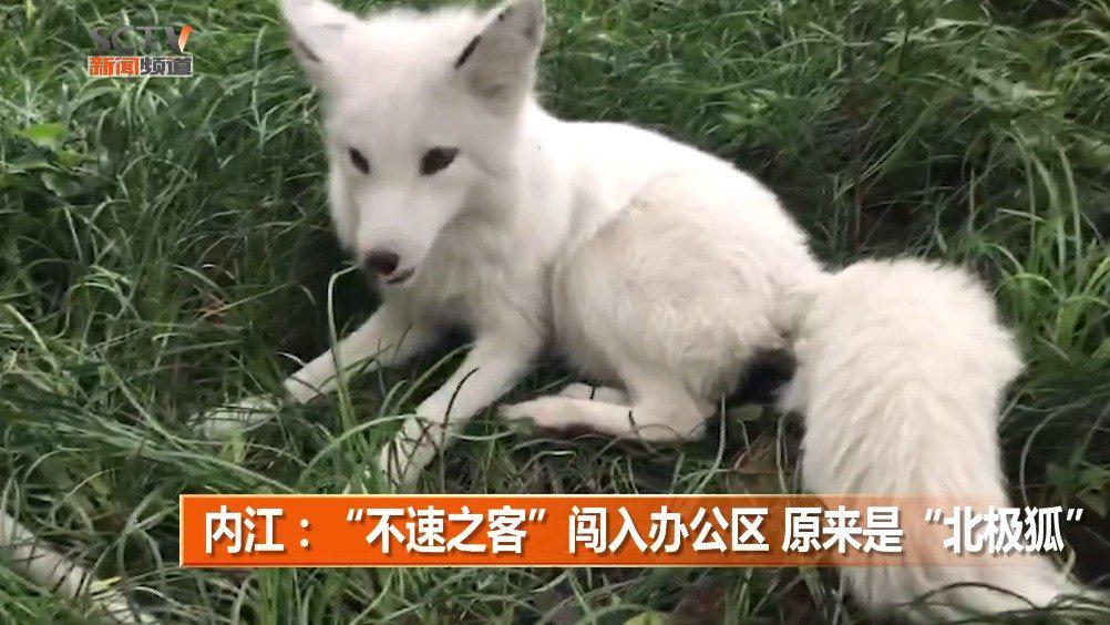 """内江:""""不速之客""""闯入办公区 原来是""""北极狐"""""""