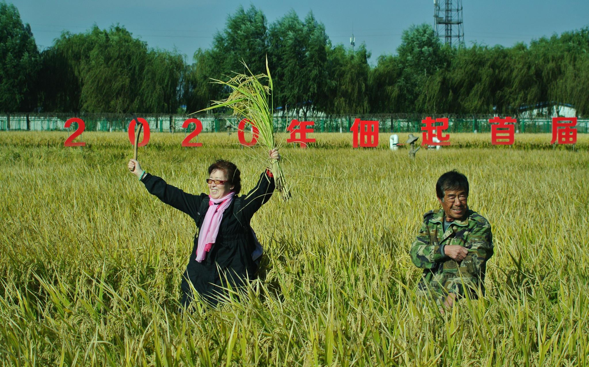 京西王佐镇稻香飘 北京六城区内最大稻田今日开镰图片