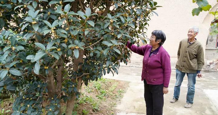 67岁农民大叔家16年生金桂树,1年开花2次,3万元不卖
