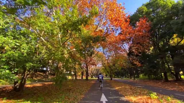 """视频版 昭和纪念公园的秋 五百米""""金黄色的通道"""""""
