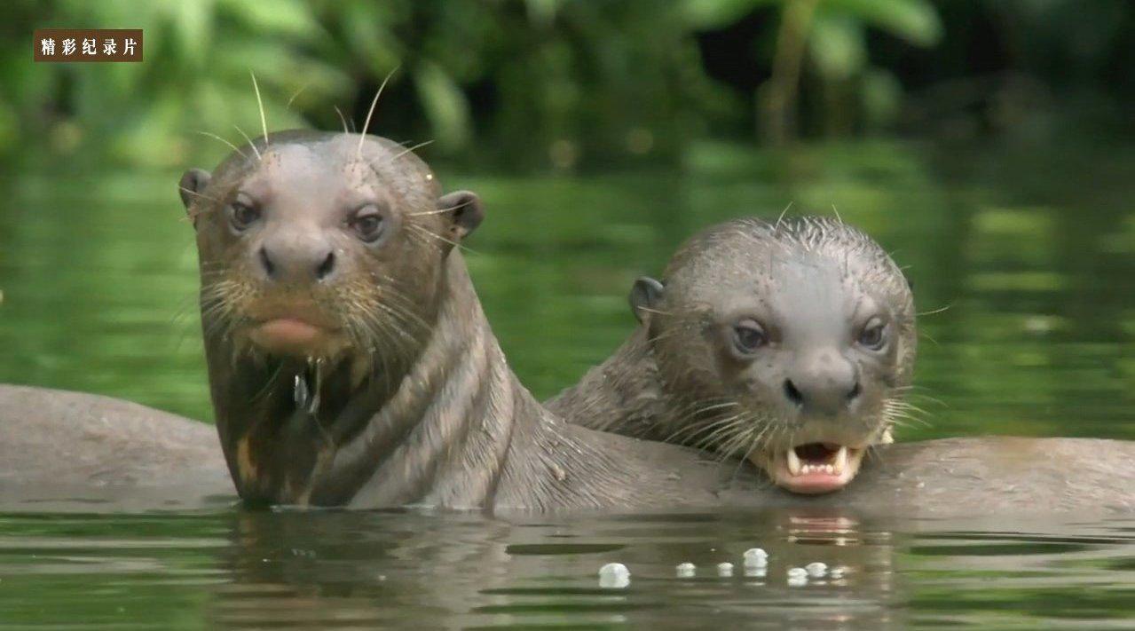 亚马逊大水獭 之 水獭大家庭 Giant Otters of the Amazon - A