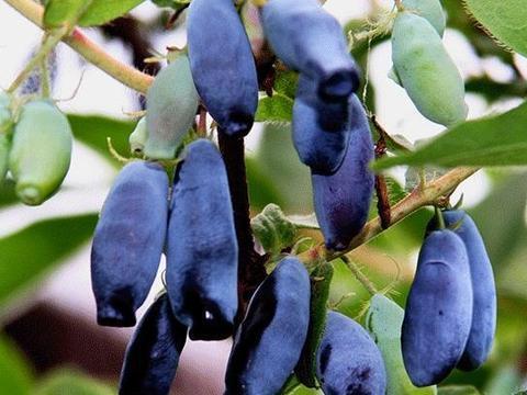 """扦插2种""""水果"""",把""""嫩枝""""剪下来,放土里生根快,1个月变果"""