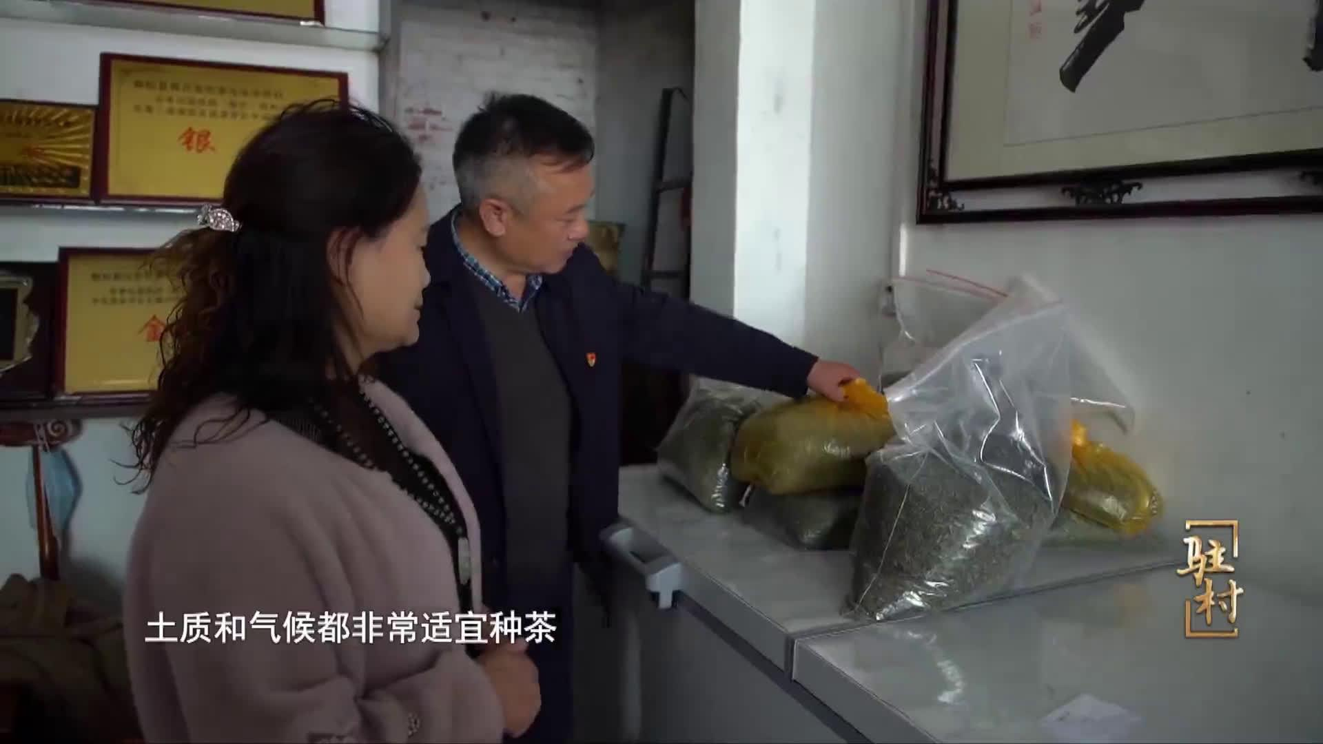 河南广电全媒体系列纪录片《驻村》 第三集:《王湾茶飘香》