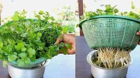 一招提高香菜发芽率,播种前将果实搓开,里面藏有两粒种子!