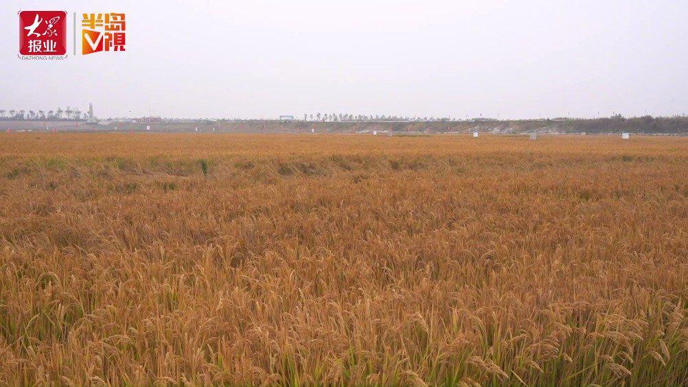 半岛全媒体记者体验割海水稻:粒粒皆辛苦……