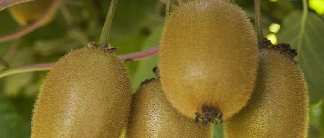 小果子蕴含大智慧!贵阳修文县以大数据赋能猕猴桃全产业链发展