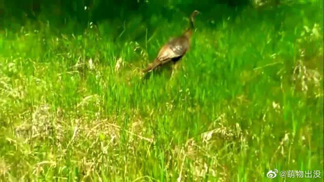 火鸡带小鸡觅食,一只老鹰突袭想叼走小鸡,母鸡发飙了