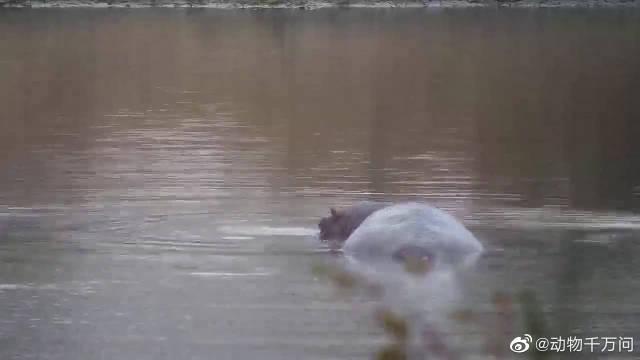 一头大河马在荒山的水库里游泳,它的朋友野鸭站在河马背上玩耍!