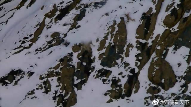 为了食物连命都不要了,豹子跟自己的猎物一同滚下山崖