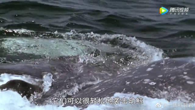 实拍虎鲸群攻击灰鲸母子,恶战6小时血染大海