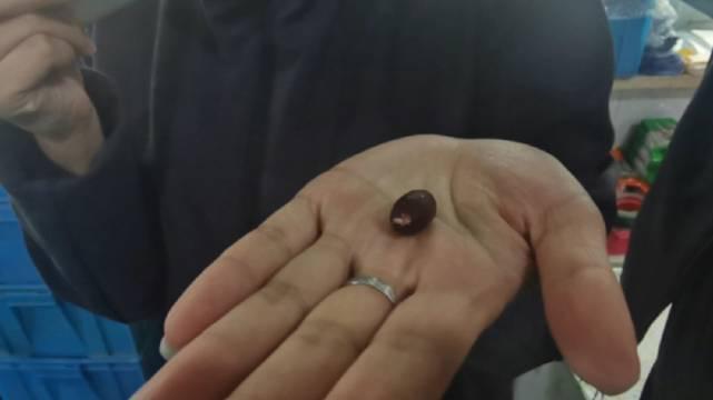 一口花生一口地瓜,在锦州黑山常兴绿色花生生产基地里……