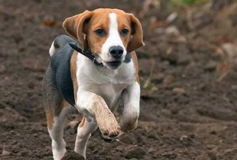 为什么很少有人饲养比格犬?优点让人喜欢,可缺点很明显