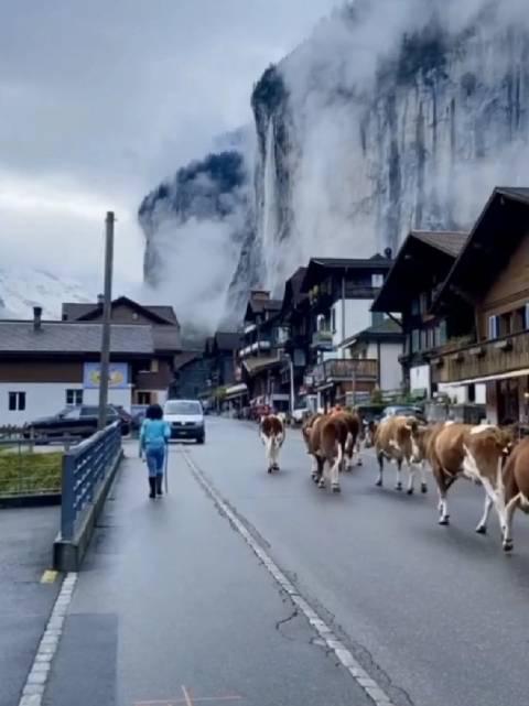 在瑞士,奶牛也是日常交通的参与者……
