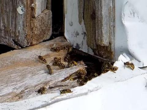 男子自制大功率吸尘器吸一窝马蜂,打开储藏盒吓得手抖