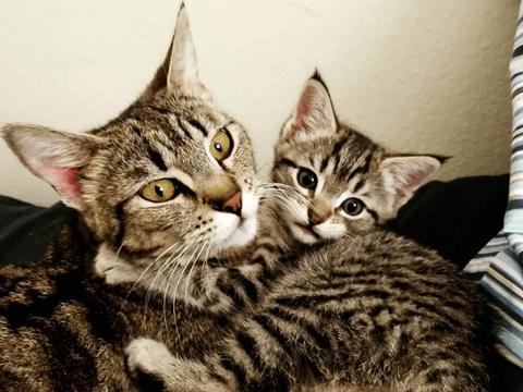 猫咪母子形影不离,却为了争宠大打出手,殃及装傻铲屎官