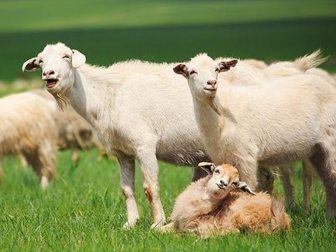 生肖羊之人,你是春天出生还是冬天出生?出生季节决定你的财富!