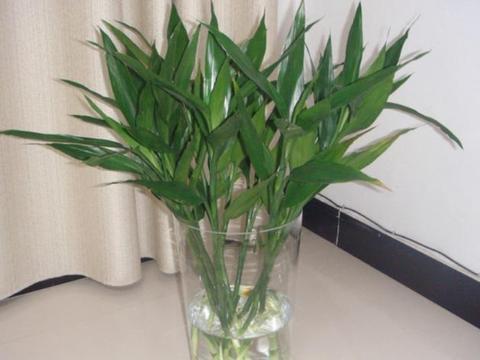 水培富贵竹,如何做才根壮叶绿?把控住4点,植株不黄叶、烂根