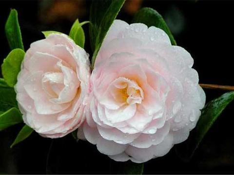 """8种盆栽""""爱吃醋"""",每月喂2勺,不黄叶开花多,茶花最明显"""