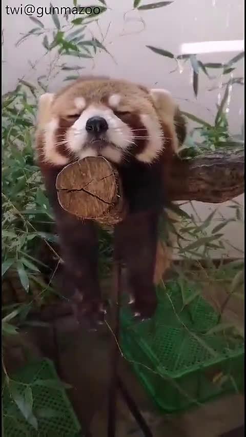 困得不行还要在树枝上保持平衡的小熊猫……