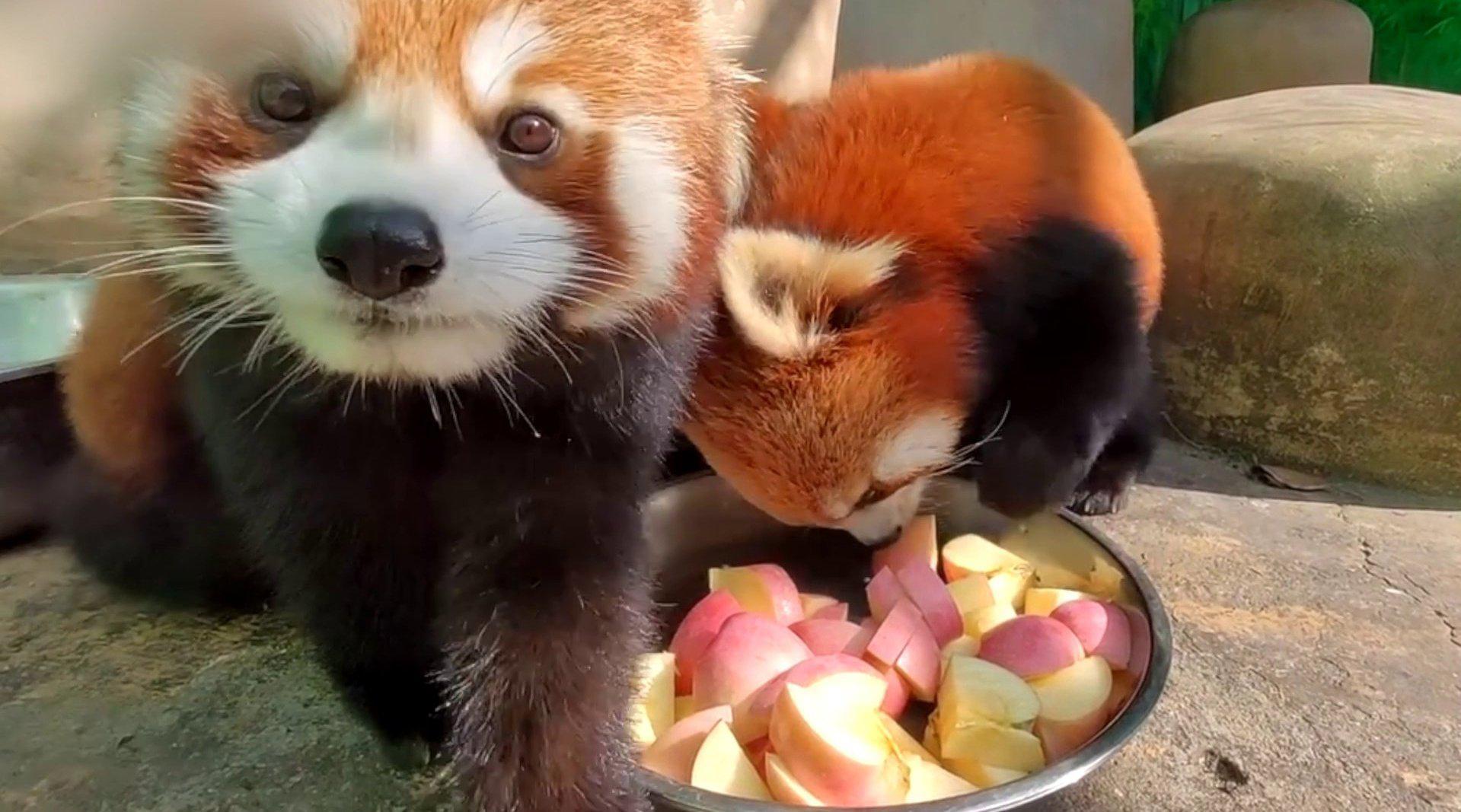 萌化了!小熊猫吃播太可爱了