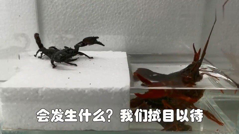 龙虾vs蝎子