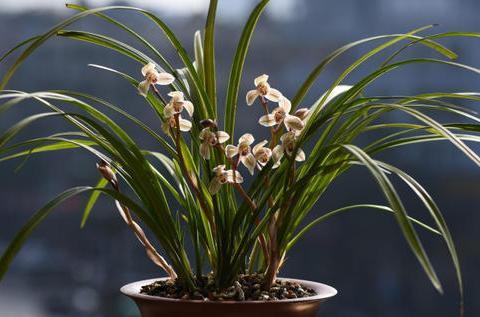新手养兰花,做好1少2多,植株更健壮,开花多又香!
