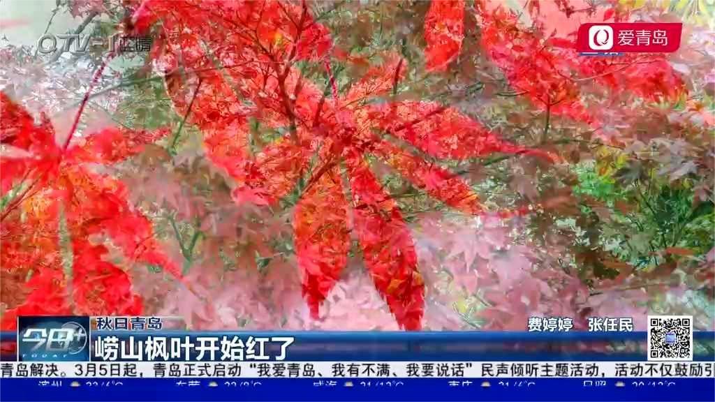 秋日青岛:崂山枫叶开始红了