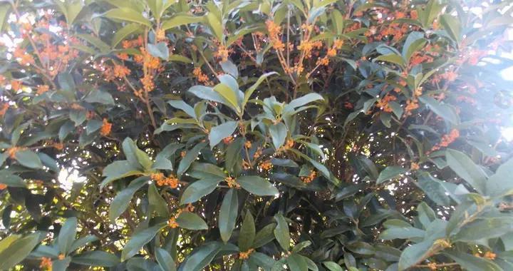 十月桂花香,桂花树多开花的方法,你知道吗?