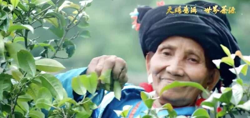 """扶贫新思路:上海金山和云南镇沅合力打造""""千家寨爷号""""普洱茶"""