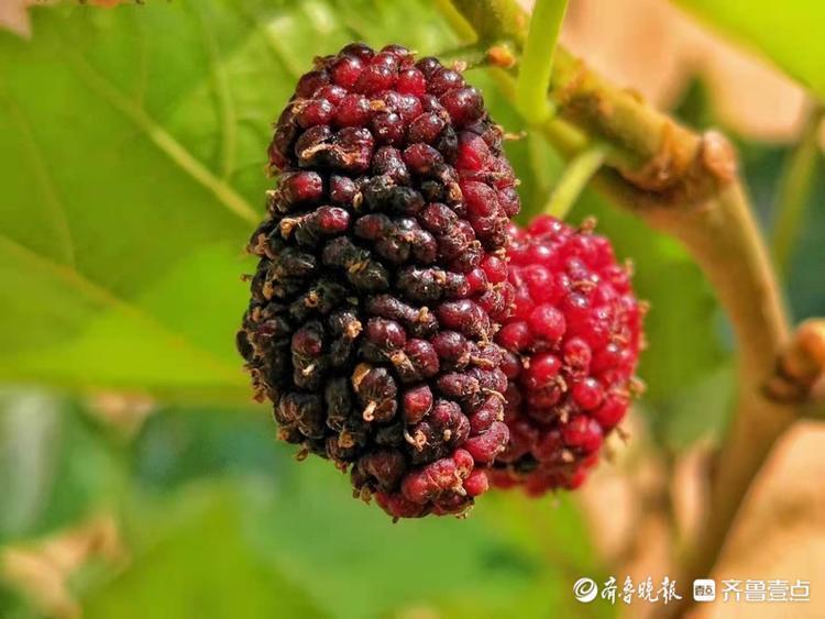 """紫红色""""民间圣果""""深秋季又挂枝头"""
