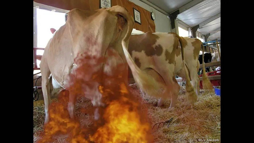 全世界有2.5亿只奶牛,在顶着乳房爆炸的危险产奶