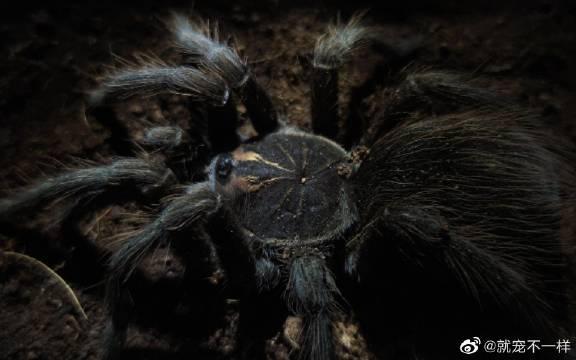 超近距离观察一只,蜘蛛恐惧症勿入!