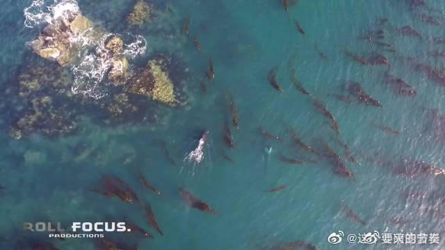 虎鲸将海豹拍到近25米的空中……直接豹毙