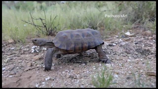 响尾蛇把乌龟当成坐骑,往上一蹲气势飙升一米八