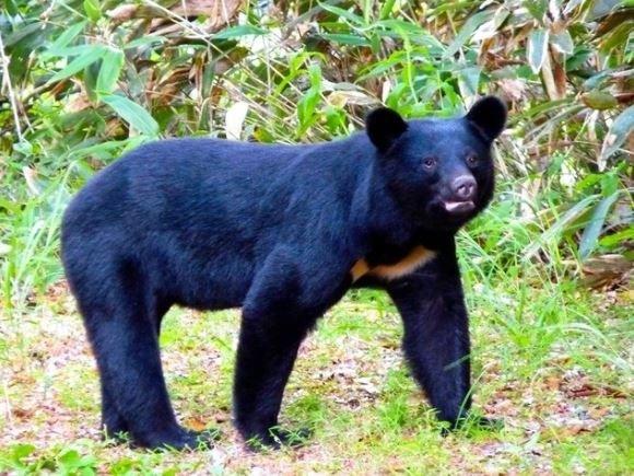 小心熊出没!日本发布最高级警戒
