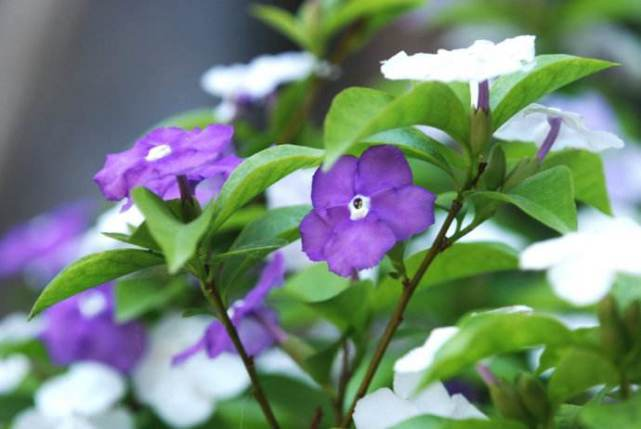 1种花有茉莉香,花儿同时开三色,一开300多天,新手养得好