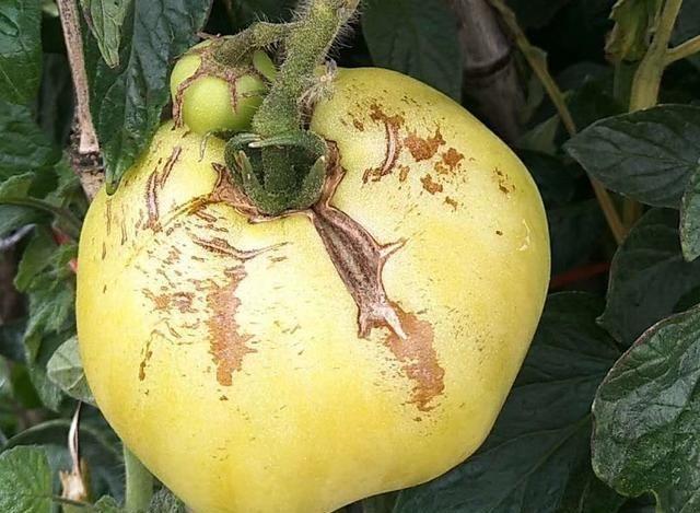 对于钙肥什么时候用防裂效果好?种植经验分享!