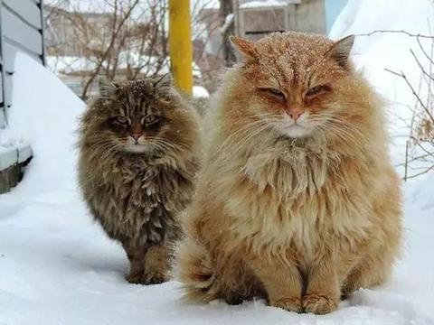 西伯利亚森林猫驱赶野狐狸,杀气两丈八!不愧是最强战斗猫!