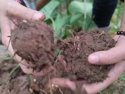 80后的真实农村生活,挖芋头后直接种芹菜,土地1天也不准浪费