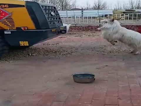山羊实力撞挖土机,撞第二下的时候,有点想起来疼了!