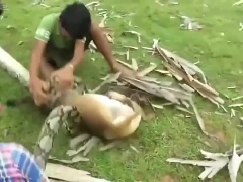 大蟒蛇:蟒蛇厉害了,竟敢攻击家犬