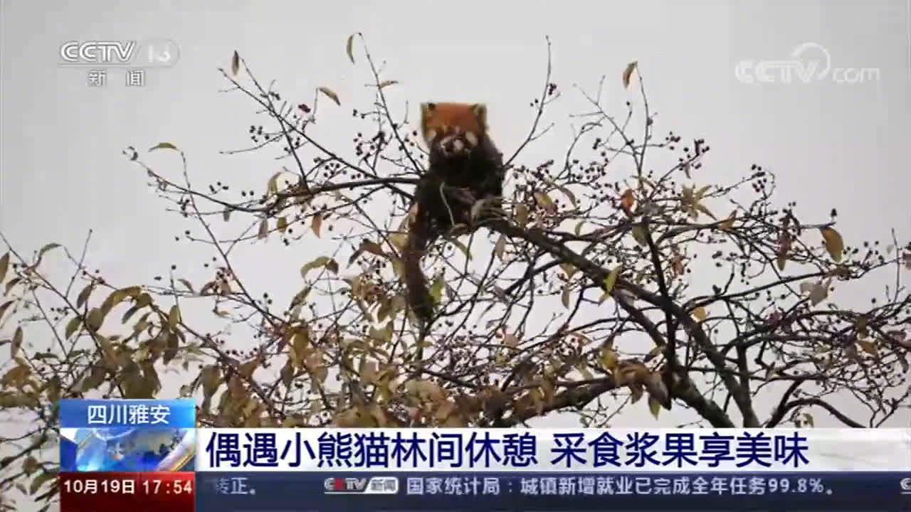熊猫播报 | 安逸~小熊猫林间采果享美味