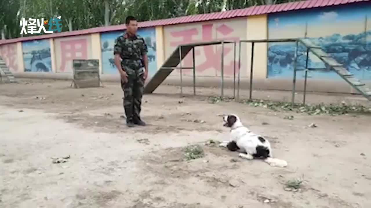 钻行、飞背、解救人质!实拍武警警犬训练画面 战术动作超燃!