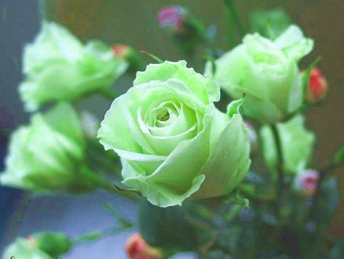 喜欢玫瑰,就养盆绿玫瑰,花开碧绿如玉,寓意爱情,妩媚迷人!
