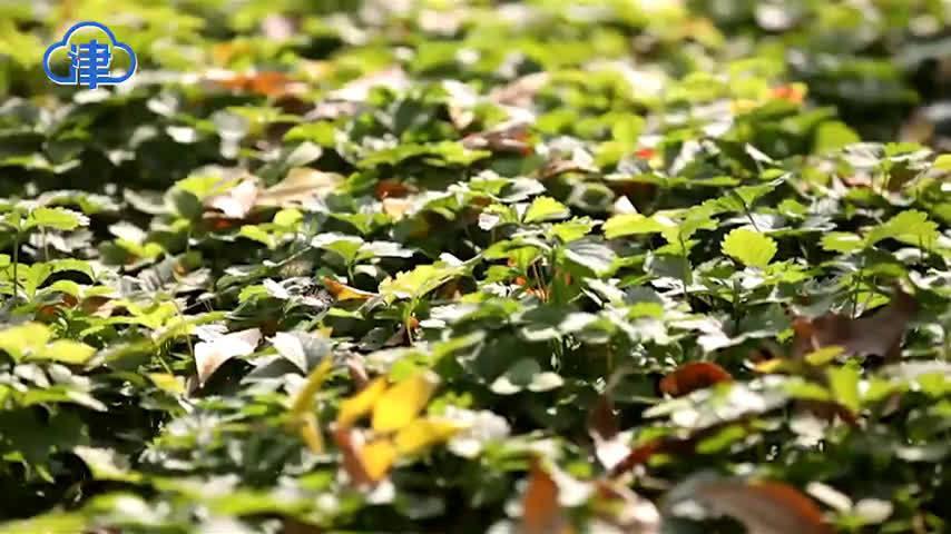 官港森林公园:盐碱地上起林海