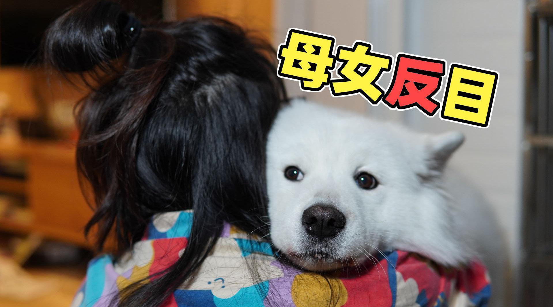 萨摩耶软糖散步回来饿昏了,妈妈只给吃两颗狗粮?