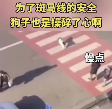 管理人行道的交通狗狗😄😄愿你有个安稳的狗生遵守交通秩序的狗